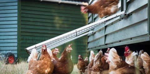 De Groene Amsterdammer op bezoek bij kippenboer